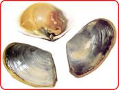 Toheroa Fritters (Marine Clam)